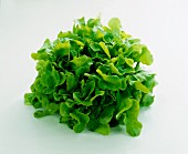 Green oak leaf lettuce