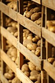 Jersey Royal potatoes drying on wooden shelves