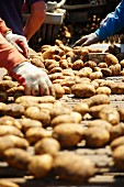 Jersey Royal potatoes being harvested by machine