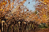 Autumnal vines in a vineyard