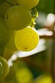 Grüne Trauben am Rebstock (Close Up)