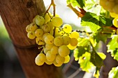 Green grapes on a vine in a vineyard