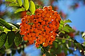Rowan berries (sorbus aucuparia) on a tree