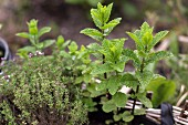 Fresh mint and thyme in a planting basket