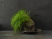 Chives with a ball of roots