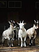 Ziegen vor dem Stall