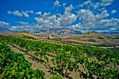 A vineyard, Italy
