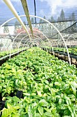 Coffee plants on a plantation
