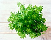 A bunch of woodruff on a wooden surface