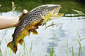 A hand holding a Carinthian brown trout in front of a pond (Austria)