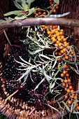 Elderberries and sea-buckthorn in a harvesting basket