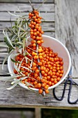 Freshly harvested sea-buckthorn berries
