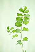 Burnet leaves