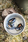 Open mussels in cooking water