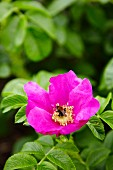 A bumblebee on a pink wild rose