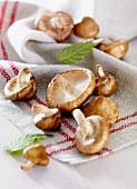 Shiitake mushrooms on a tea towel