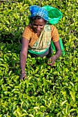 A tea picker surrounded by tea plants
