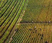 Erntearbeiter bei der Weinlese