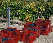 Rote Kisten mit frisch geernteten, blauen Tempranillotrauben