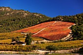 Herbstlicher Weinberg in Chile