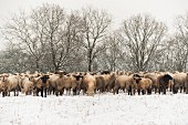 A flock of sheep standing in a snow covered pasture, Neuwied, Rhineland-Palatinate, Germany