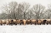 Herde von Schafen auf schneebedeckter Weide, Neuwied, Rheinland-Pfalz, Deutschland