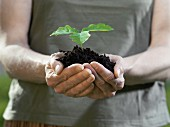 Hands holding a young plant in loose soil
