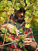 A vintner harvesting grapes from a vine
