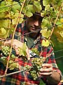 A vintner harvesting grapes from a vine