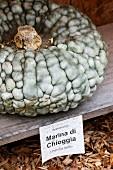 A Marina di Chioggia pumpkin from Italy
