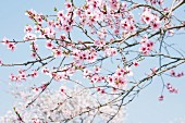 A flowering sprig of almond blossom against a blue sky