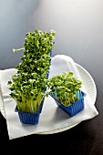 Cress in blue plastic containers