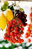 Hängende Tomatenrispen neben Zitronen und Trauben