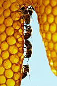 A row of honey bees