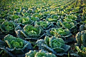 Al arge field of Savoy cabbage