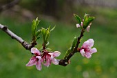 Sprig of almond blossom