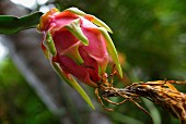 A bright dragon fruit on a tree