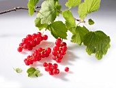 Redcurrants with a twig