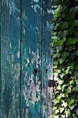 A wooden wall with peeling paint partially covered in ivy