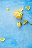 Yellow roses on light blue surface
