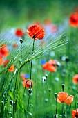 Wiese mit Mohnblumen und Kornblumen