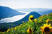 Yellow sunflowers on a hillside overlooking the Columbia River, Washington, USA