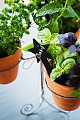 Herbs in terracotta pots