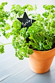 Parsley in a terracotta pot