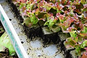 Lollo Rosso salad seedlings in a crate