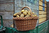 A basket of freshly harvested Ditta potatoes