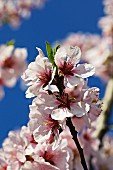 Peach blossom on a tree (close up)