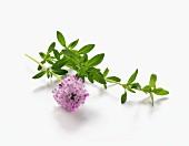 Frisches Bohnenkraut mit Blüte