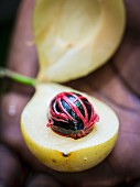 A man opening a nutmeg fruit