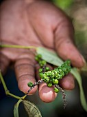 Hände halten grüne Pfefferrispen von einer Plantage in Sansibar